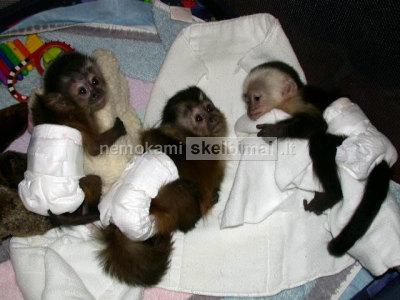 Beždžionė kūdikiai ir Šimpanzė kūdikiai