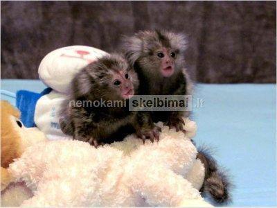 Du kūdikis pirštu Beždžionės