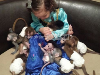 socializuoti beždžionių kūdikiai paruoštas naujų namų