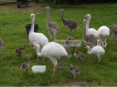 Emu kiaušiniai, stručio kiaušiniai, Rhea Kiaušiniai ir jų jaunikliai