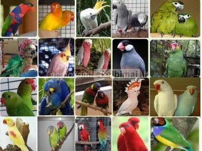 Amazonės, aras, Kakadu, Afrikos Grays ir derlinga kiaušiniai