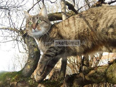 Dovanojamas sterilizuota katytė
