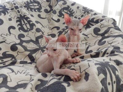 Sveikas vyrai ir moterys Sfinksas kačiukai
