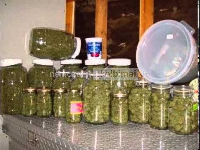 medicininė marihuana, Kush, og Kush, Master Kush ir kitų veislių