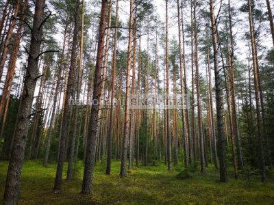 Perka mišką. Miško kaina
