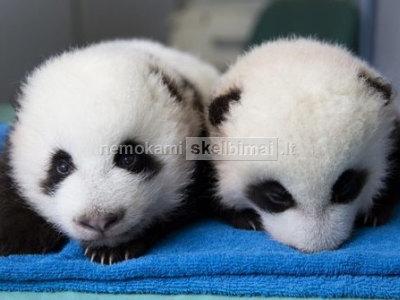 Gražūs milžiniški pandos jaunikėliai
