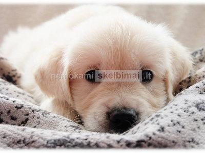 Auksaspalvio retriverio šuniukai su kilmės dokumentais