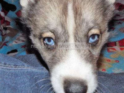 Mėlynos akys Siberianas Husky šuniukai nemokamai