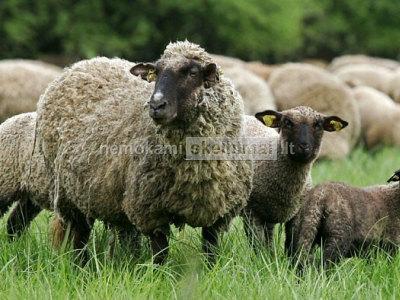 Avių supirkimas Lt