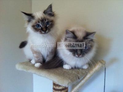 nepaprastai gražūs birmiečių kačiukai dabar sumažėjo ieškodami gero namų
