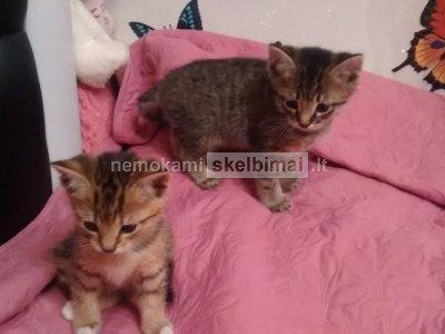 Du žavūs bengalijos kačiukai ieškojo gero ir rūpestingo namo