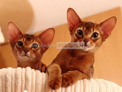 Abisinijos kačiukas