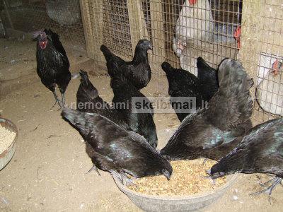 gryni juodi ayam cemani viščiukai ir kiaušiniai