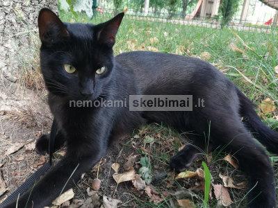 Jaunas juodas katinas ieško saugių namų