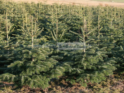 Auginame kalėdų eglutes prekybai
