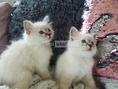 Du gražūs Birmano kačiukai