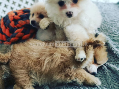 Kilmės Pomeranijos šuniukai