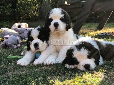 Kilmės šv. Bernardo šuniukai