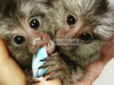 Marmoset beždžionės, skirtos sugrįžti