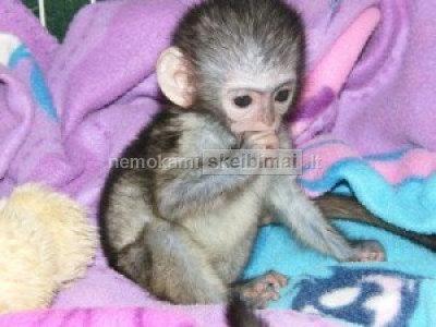 Parduodamos 9 savaičių amžiaus beždžionės kapucinų kūdikiai