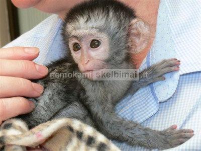 Galima parduoti sveikas kūdikių kapucinų beždžiones