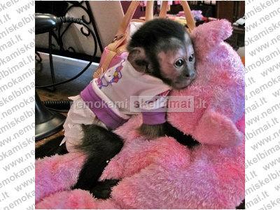parduodamos dvynių kūdikių kapucinų beždžionės