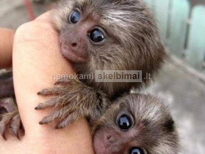 Parduodamos 9 savaičių senumo beždžionės kūdikių pirštinės