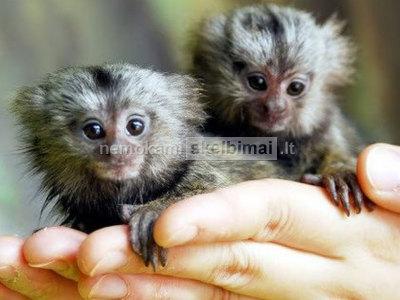 Parduodamos beždžionės beždžionės